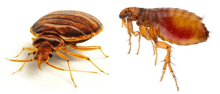 Fleas & Bedbugs
